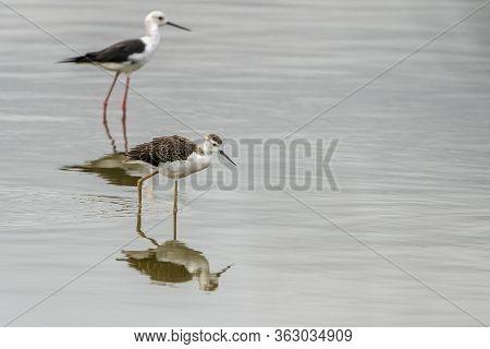 Breeding Of Black-winged Stilt (himantopus Himantopus) In \