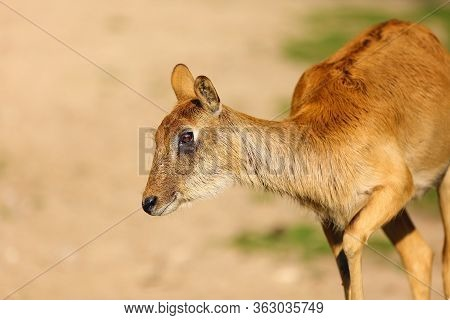 The Nile Lechwe Or Mrs Gray's Lechwe (kobus Megaceros), Portrait Of A Young Female.