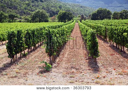 Vineyard of Languedoc Roussillon
