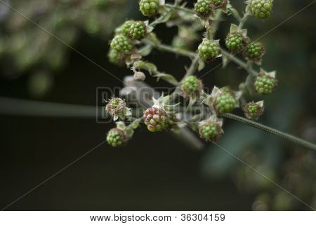Blackberries, Washing Line And Peg