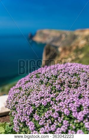 Purple Flowers Of Thymus Vulgaris Bushes Known As Common Thyme, Garden Thyme, . Thyme In Front Of Th