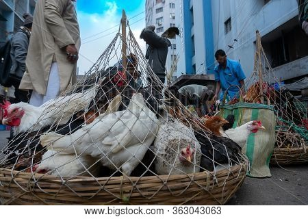 Kolkata, West Bengal, India - 16th December 2018 : Roosters, Adult Male Chickens (gallus Gallus Dome