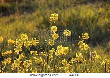 Rising Sun In The Morning Shines On The Rapeseed Along The Dike Of The Hollandsche Ijssel At Park Hi