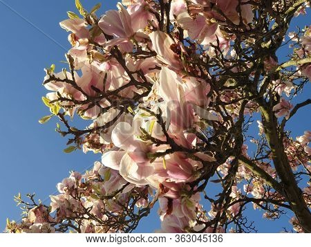 Purple Leaves Of The Magnolia Tree In The Sunlight During Spring In The Netherlands