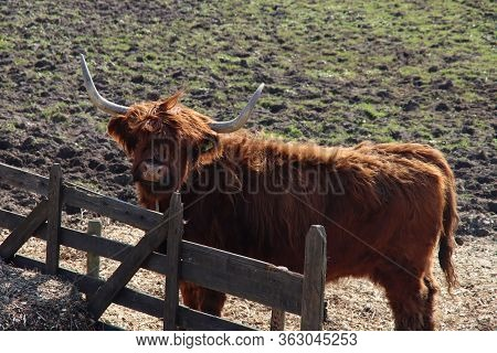 Scottish Highlanders Cattle With Big Horn Colored By The Sunlight In A Pasture In Arkel In The Nethe