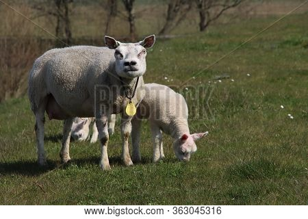 Newborn Lambs In The Grass Along The Dike During The Spring In The Netherlands