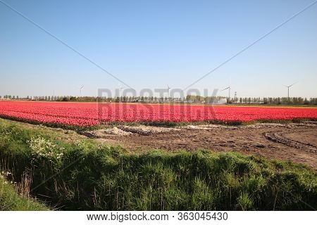 Fields Full Of Tulips That Grow Colorfully On Island Goeree Overflakkee During The Spring To Harvest