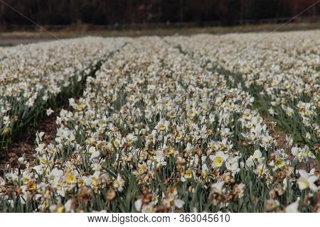 Fields Full Of Daffodils That Grow Colorfully In Noordwijkerhout During The Spring To Harvest Flower