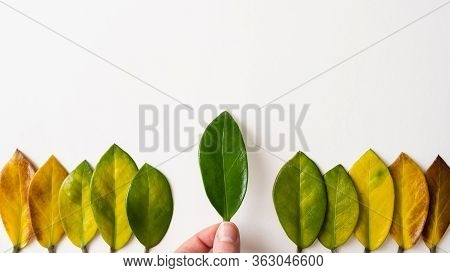 Human Hand Holding Green Tree Leaf Among Yellow Leaves. Conceptual Image Of Ecology And Sustainable