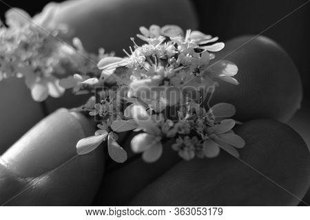 Hand Holding Beautiful Coriandrum Sativum Flowers In The Garden In Spring