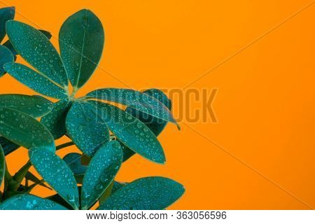 Schefflera Indoor Plant Close-up Leaves With Drops Of Water Splashes On An Orange Background Minimal