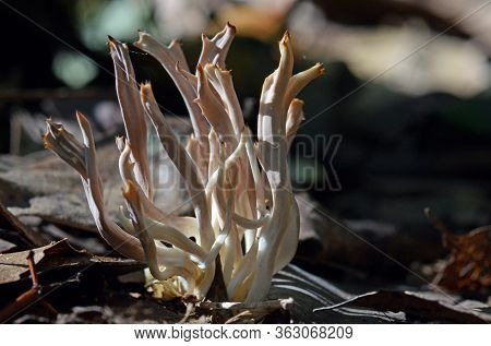 Coral Fungi, Ramaria Species, Growing In Leaf Litter On Temperate Rainforest Floor, Royal National P