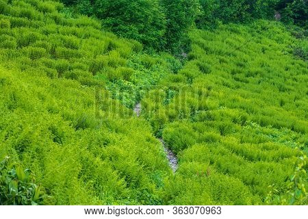 Glade On The Mountainside Overgrown With Fern. The Trail On The Side Of The Mountain Goes Through A