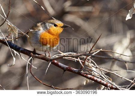 Bird - European Robin ( Erithacus Rubecula ) Sitting On A Branch Of A Bush Sunny Spring Morning. Clo