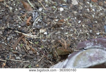 Camouflage Frog Toad In Garden Dirt Soil