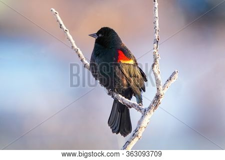 Red-winged Blackbird (agelaius Phoeniceus) Sitting In A Tree, Colorado