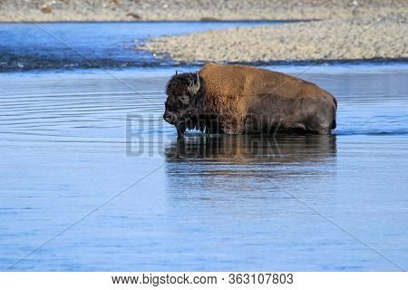 Bison Crossing River In Lamar Valley, Yellowstone National Park, Wyoming, Usa