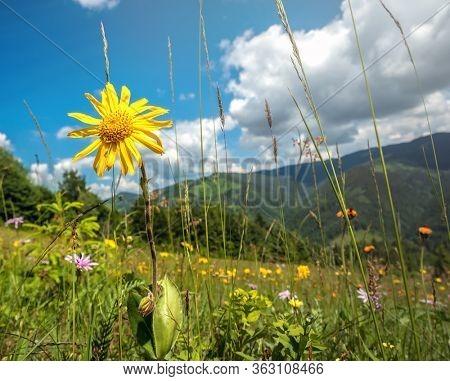 Windflowers on alpine meadow of Carpathian mountains in western Ukraine