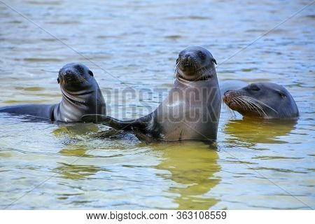 Galapagos Sea Lions Playing In Water At Gardner Bay, Espanola Island, Galapagos National Park, Ecuad
