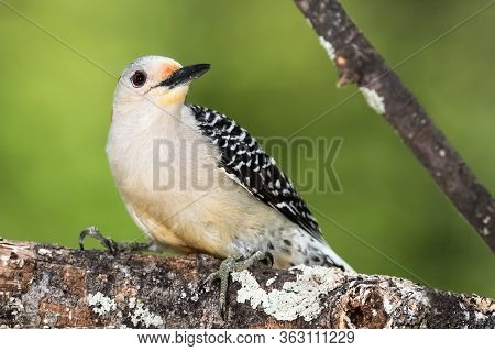Red-bellied Woodpecker Perched On A Branch Of A Tree