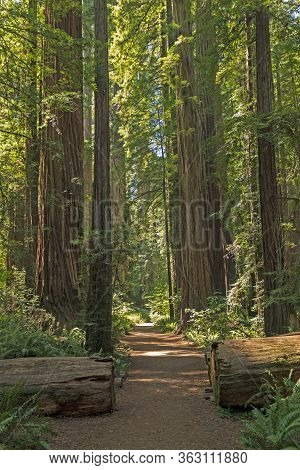 Serene Trail Amongst The Forest Giants In The Stout Grove In Jedidiah Smith Redwoods State Park In C