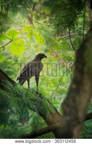 Changeable Hawk-eagle Or Crested Hawk-eagle (nisaetus Cirrhatus) Large Bird Of Prey Species Of Accip