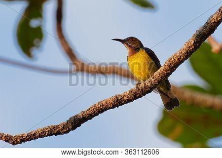Brown-throated Sunbird - Anthreptes Malacensis, Also Plain-throated Sunbird, Bird In The Nectariniid