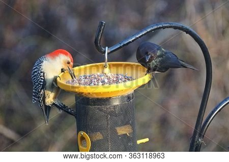 A Red-bellied Woodpecker And A Common Grackle Eating Seeds On The Bird Feeder