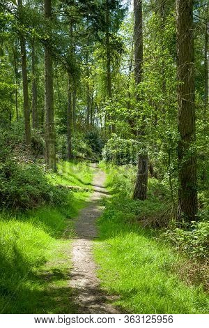 Woodland Trail Through Pine Forest In Chiltern Hills Area Of Outstanding Natural Beauty, Buckinghams