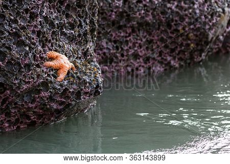 Orange Ochre Sea Star In Oregon