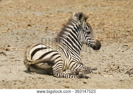 Young Zebra Resting On The Ground