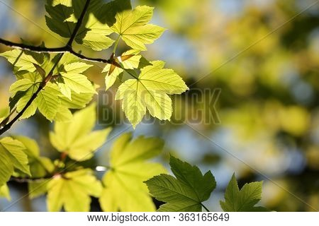 Maple leaves spring Nature forest Nature background Nature background foliage twig Nature branch Nature trees Nature background Nature background Fresh green Nature color Nature background Nature leaf Nature outdoor Nature background Nature background.