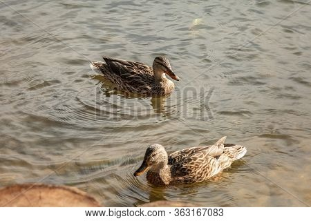 Two Beautiful Migratory Wild Ducks Floating On A Pond, A Brown Plumage And A Yellow Beak, Traces On