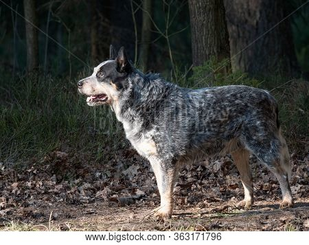 Gray Australian Cattle Dog In Forest. Dog Standing With Forest Background, Looking At The Viewer