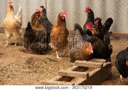Red Hen On Farm. Homemade Poultry. Chicken In A Traditional Poultry Farm. Chickens Pecking Grain On