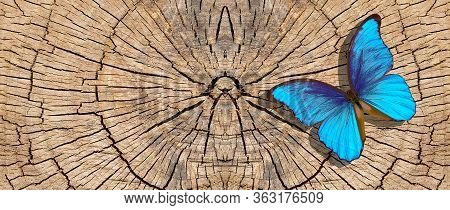 Bright Blue Tropical Morpho Butterfly On A Dry Cut Tree Stump. Deforestation. Animal Habitats. Ecolo