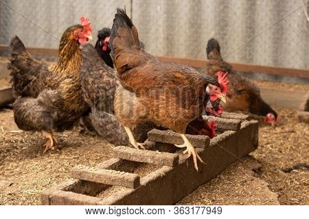 Brown Hen On Farm. Homemade Poultry. Chicken In A Traditional Poultry Farm. Chickens Pecking Grain O