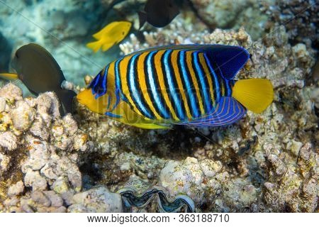 Royal Angelfish (regal Angel Fish) In A Coral Reef, Red Sea, Egypt. Tropical Colorful Fish With Yell
