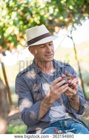 Winegrower Man In Straw Hat Holding Bunch Of Red Grapes. Traditional And Natural Winery Farm. Adult