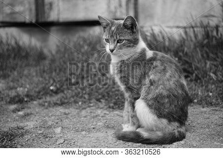 Cute Ash Kitty Sitting In A Sunny Garden, Bw Photo.