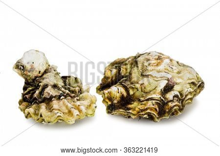 Live freshly caught oysters isolated on white background