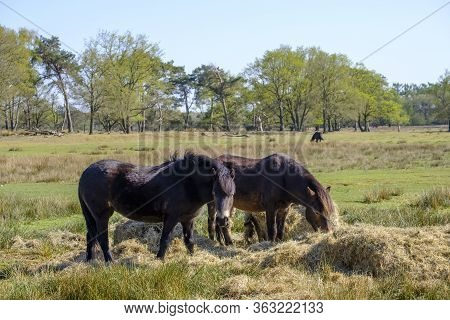 Two Exmoor Ponies Eat Hay In A Wooded Landscape, One Ponie In The Background. Friesland, The Netherl