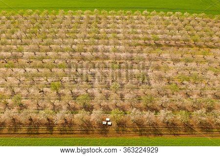White Full Bloom Almond Trees Plantation, Aerial Image.