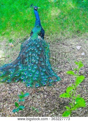 Indian Peacock Dancing Indian Peacock Dancing In National Park India Photos