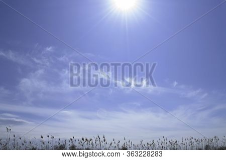 Reeds Sway On Wind And Sun Rays. Reed In The Meadow Sways.wild Grass Sway From Wind Against The Sky.