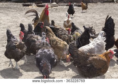 A Herd Of Hens Goes To The Poultry Yard. Ecofactory Or Poultry Farm Concept.