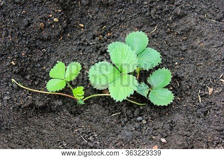 Young Strawberry Bush After Watering. Vegetation And Breeding In The Springtime. New Generation Of T