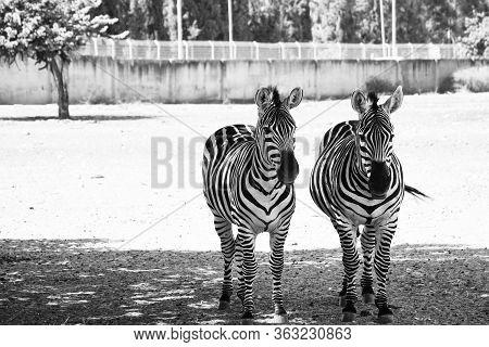 Two Zebras In Safari Zoo Ramat Gan. Couple Of Animals. Couple Of Zebras. Zebras Family. Animal Famil