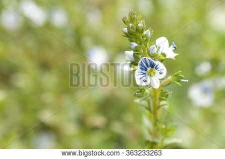 Persian Speedwell (veronica Persica) Flower In Bloom On A Green Bokeh Background