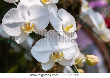 Orchid Flower In Orchid Garden At Winter Or Spring Day For Beauty And Agriculture Design. Phalaenops